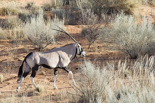 Parque Nacional Kalahari-Gemsbok